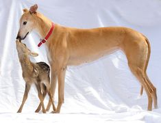 The Greyhound and Her Fawn