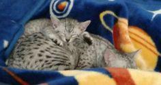 Maura and Momma Cassie #catnapping #kittenwatch #Cassie #cutekitten #egyptianmausoftwitter #egyptianmausofinstagram #egyptianmausoffacebook #catsoftwitter #catsofinstagram #catsoffacebook #catsofscope #cutekitten #petsoriginal #forellen #bestmeow #Excellent_Kittens #Cutepetclub