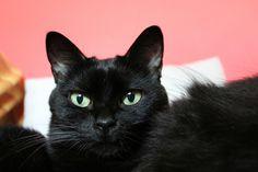 Black cat. Pet. Bessie.