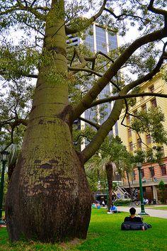 Queensland Bottle Tree Anzac Square Brisbane