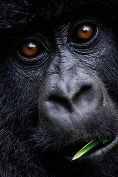 Горные гориллы - удивительные гиганты, исчезающие с лица земли - Наука и жизнь