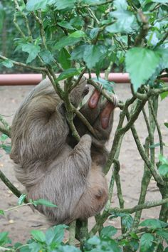 sloths are everywhere Cute Sloth Pictures, Baby Sloth, Sloths, Endangered Species, Spirit Animal, Animal Kingdom, Costa Rica, Babies, Board