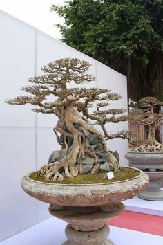 Are you interested in getting an indoor bonsai tree? If you are, then you definitely need to learn about how you can take good care of your tree so that it will survive life indoors. Bonsai Ficus, Bonsai Plants, Bonsai Garden, Bonsai Trees, Bonsai Flowers, Bonsai Forest, Juniper Bonsai, Bonsai Tree Care, Bonsai Tree Types