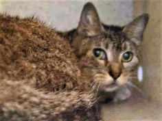 """LIL DEBBIE - A1114255 - - Manhattan  ***TO BE DESTROYED 06/13/17***Surrendered due to """"too many pets…"""" Kind & gentle Lil Debbie and 4 other cats were taken from a colony that was living in a boiler room – needs a home asap! -  Click for info & Current Status: http://nyccats.urgentpodr.org/lil-debbie-a1114255/"""