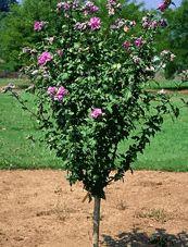 Rose Of Sharon Tree