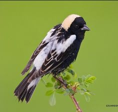 The bobolink is a small New World blackbird and the only member of the genus Dolichonyx. Wikipedia Scientific name: Dolichonyx oryzivorus Higher classification: Dolichonyx Rank: Species