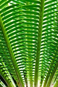 Green Fronds .....