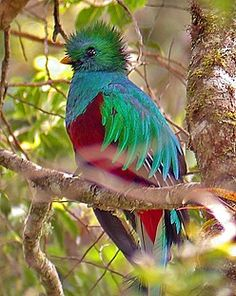"The large [32cm/13""long] solitary Quetzel of Trogon family found in Costa Rica forests & woodlands, especially in humid highlands-are slightly bigger than other trogon species, with iridescent green/ golden-green wing coverts, back, chest & head, with a red belly, are strongly sexually dimorphic, with a brown or grey female. They feed on fruits, berries, insects & small vertebrates (such as frogs). Despite their bright plumage, they can be surprisingly difficult to see in their wooded…"
