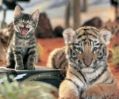 Adorable Babies of Wild Cats - AmO Images - AmO Images - kitten and tiger cub Animal Captions, Funny Animal Memes, Funny Cats, Funny Animals, Cute Animals, Cute Kittens, Cats And Kittens, Tiger Pictures, Animal Pictures
