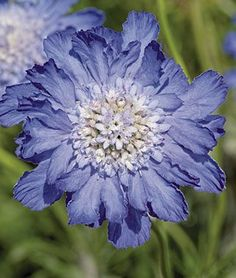 "Scabiosa, Fama Deep Blue    The largest flowering scabiosa, Fama Deep Blue's gorgeous lavender blooms just won't quit. The lilac-hued, nearly 4"" double flowers on 12"" stems blithely float above the dense silver-blue foliage. Exceptional as cut flowers. Prolific flowering begins in midsummer, and, if deadheaded, the flowers bloom on into fall."