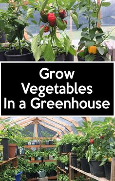 Grow vegetables in a greenhouse,Ways to Use Greenhouse and various types of greenhouses for seed starting. Greenhouse Gardening helps me start and grow plants early and for a longer period of time. I also have a lot of other Greenhouse Ideas for a small G Diy Greenhouse Plans, Build A Greenhouse, Greenhouse Growing, Greenhouse Gardening, Hydroponic Gardening, Hydroponics, Organic Gardening, Greenhouse Wedding, Vegetable Gardening