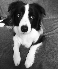 All right, the Border Collie is allowed on the bed, but ONLY by invitation. Perros Border Collie, Border Collie Puppies, Border Collie Mix, West Highland Terrier, Cute Dogs Breeds, Dog Breeds, Husky, Herding Dogs, Yorkshire Terrier Puppies