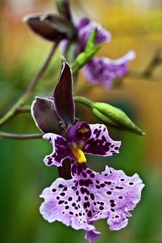 Orchid - Caucaea Rhodosticta Print By Heiko Koehrer-wagner