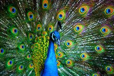 Peacock - Download From Over 47 Million High Quality Stock Photos, Images, Vectors. Sign up for FREE today. Image: 14027438