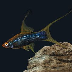 Black Lyretail Swordtails (xiphophorus helleri var.) display a tail fin having extended fin rays at both the conventional lower edge, and unusually at the upper edge of the caudal fin. An elongated and expanded dorsal fin often accompanies the lyretail formation in male swordtails.