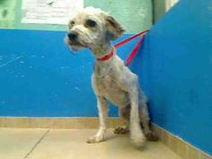SCRUFFY is an adoptable Lhasa Apso Dog in Brooklyn, NY.  ...