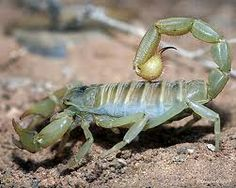 Scorpion's are not generally thought of as beautiful, but when you really look at them with a little love in your heart their colours and strengths are obvious...