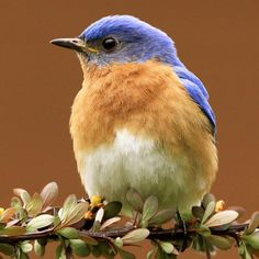 Eastern Bluebird: Give a meaningful gift. Adopt a Eastern Bluebird now. Your bird adoption helps Audubon protect birds and their habitats.