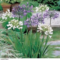 Agapanthus Flowering throughout summer these impressive perennials lend their stature to borders and patio containers, where their architectural seed heads continue the display well into autumn. The large spherical blooms also look magnificent in cut flower displays. In your collection you will receive the following two varieties: 'Queen of the Ocean' and 'Polar Ice'. #gardening #flowers #growyourown #summerflowers #agapanthus