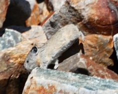 Quick as a bunny! Pika actually are in the rabbit family and scramble over rocks very fast.