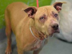 TO BE DESTROYED - 11/24/14 Brooklyn Center - P  My name is SI SI. My Animal ID # is A1020681. I am a female tan and white pit bull mix. The shelter thinks I am about 8 YEARS old.  I came in the shelter as a OWNER SUR on 11/14/2014 from NY 11237, owner surrender reason stated was PET HEALTH.