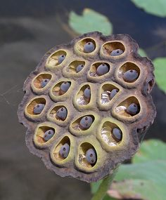 lotus pod - I think Lotus flour is what the Chinese use for General Tso's chicken - one of my favorites in Chinese foods