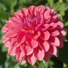 "INTRIGUE (BBFD) Introduced in 2002. An excellent cutflower variety with 4"" blooms of salmon pink, with a bit of purple in it, especially in ..."