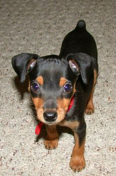 This is the kind of dog I'm guna get no matter what!! I want a min pin so bad!!!!