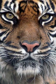 Eye of the tiger. Bengal Tiger animal art portraits, photographs, information…