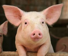 Denny's Moves to End Gestation Crate Pig Confinement in Its Supply Chain. It's a start. And. If we acknowledge pigs are intelligent and sentient and therefore don't deserve these cruel confinement systems, we are one step closer to an awakening that pigs don't deserve to be in food production at all.