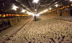 Factory farming divestment: what you need to know | Guardian Sustainable Business | The Guardian - http://www.theguardian.com/sustainable-business/2016/mar/03/factory-farming-divestment-explain