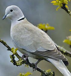 collared dove - Google Search Names Of Birds, All Birds, Dickie Bird, Backyard Birds, Garden Birds, Butterfly Pavilion, Dove Hunting, Dove Pigeon, Mourning Dove