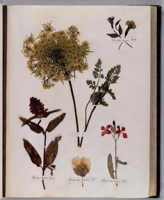 """In her early years, Emily Dickinson pressed and labeled more than 400 flowers and plants in """"Herbarium"""" books that have been preserved at Harvard."""