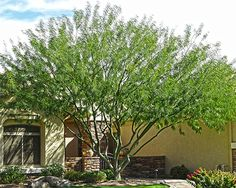 Cercidium-parkinsonia hybrid A very fast growing water wise hybrid version of the classic Palo Verde. Bright yellow, showy blooms in spring