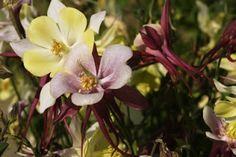 Pflanzenreich: Die Akelei- elfenhaft & farbenprächtig Articles, Plants, Colors, Pictures, Flora, Plant, Planting