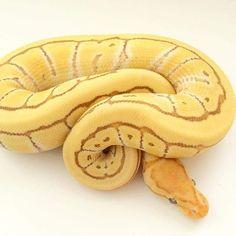 banana butter pin desert ghost