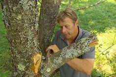 Ask This Old House landscape contractor Roger Cook shows the proper way to prune a branch without damaging the tree.