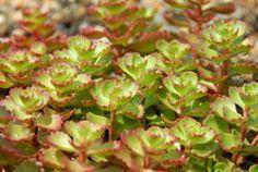 Sedum spurium 'Red Carpet'  Stonecrop