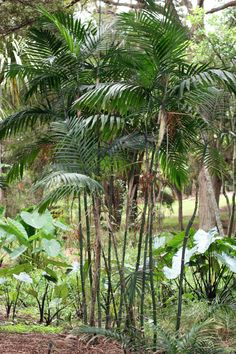 Chamaedorea costaricana