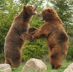 Dancing Brown Bears