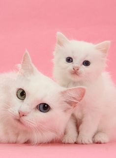 ♥white kitties on pink♥