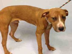KABOOM PULLED BY ALL BREED RESCUE VERMONT - 8/19/15 - TO BE DESTROYED - 08/19/15 - KABOOM - #A1047615 - Urgent Manhattan - MALE BROWN/WHITE PIT BULL MIX, 2 Yrs - STRAY - NO HOLD Intake Date 08/12/15 Due Out 08/15/15 - CAME IN WITH GIGGLE #A1047616