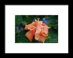 hibiscus, orange, flower, bloom, blossom, nature, garden, michiale, schneider, photography