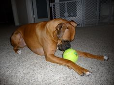 Sadie pondering her huge tennis ball...Love this pic of a fellow boxer :)