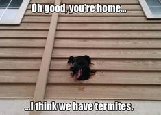 I Think We Have Termites funny memes funny pics funny images funny animal pictures funny animal memes really funny pictures funny pictures and images Funny Animal Quotes, Cute Funny Animals, Funny Cute, Funny Dogs, Animal Humor, Hilarious, Cute Puppies, Cute Dogs, Dogs And Puppies