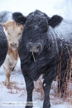 Snow and cattle Beautiful Creatures, Animals Beautiful, Farm Animals, Cute Animals, Cow Pictures, Show Cattle, Cute Cows, The Ranch, Farm Life