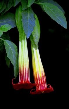 brugmansia sanguinea, the red angels trumpet or red datura by Céili & Bowery, via Flickr