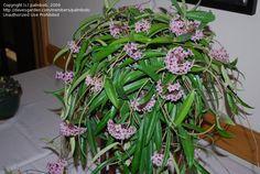 Full size picture of Hoya, Wax Plant, Porcelain Flower 'Minibelle' (<i>Hoya</i>)