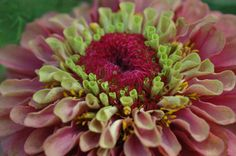 Zinnias are whoppie. Zinnias are hubba hubba. Zinnias are the tarts of summer. And no garden is complete without zinnias. So that's what this post is all ...
