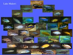All African Cichlid Species | Cichlid fishes
